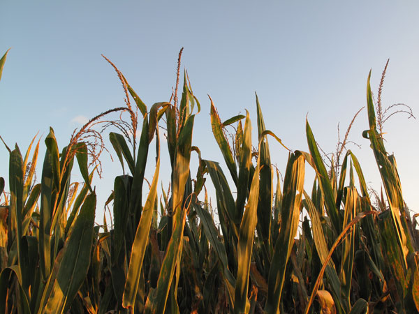 Corn tops